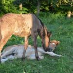 Reifnir und Stjörnufákur